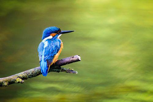 IJsvogel von Sjoerd van der Wal