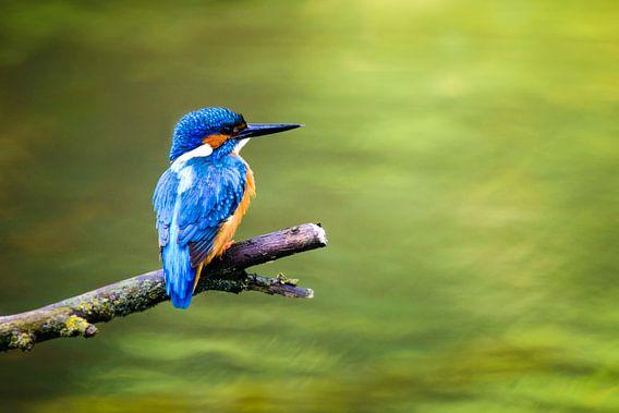 IJsvogel van Sjoerd van der Wal