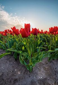 Tulipes néerlandaises sur Marcel Hof