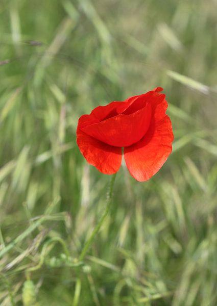 Roter Klatschmohn 2 van Rosi Lorz