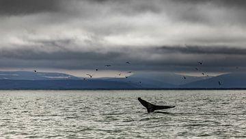 Bultrug in de baai van Husavik van Sam Mannaerts Natuurfotografie