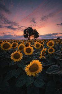 Zonnebloem zonsondergang! van Patrick Noack