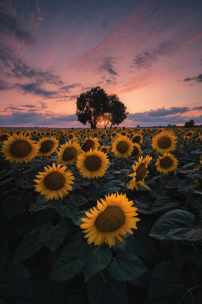 Sunflower sunset! von Patrick Noack