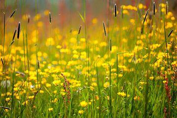 Veld met grassen, boterbloemen en zuring van