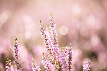 Magische roze paarse heide closeup met dauw en bokeh van KB Design & Photography (Karen Brouwer)