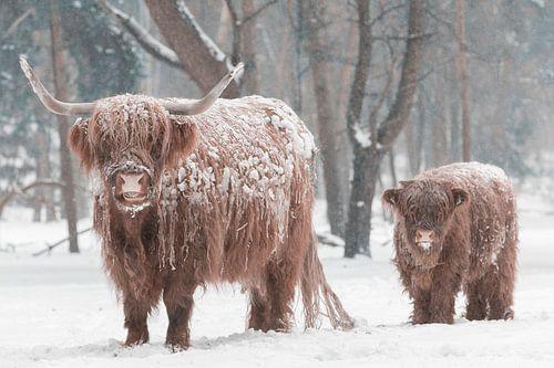Schotse Hooglander koe en kalf in de sneeuw in een bos in de winter