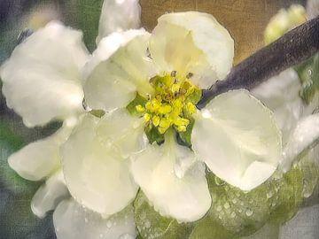 Weiße Quittenblüte
