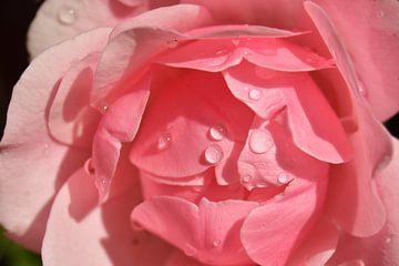 Druppels op de roze roos van J..M de Jong-Jansen