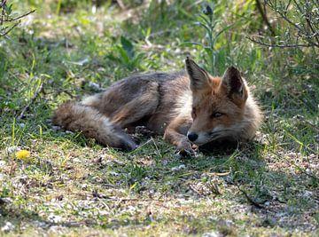 Entspannter Fuchs Amsterdam Wasserversorgung Dünen von Merijn Loch