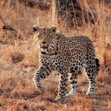 Leopard von Rob Wareman Fotografie