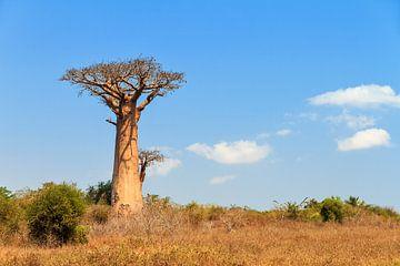 Baobab in het landschap von Dennis van de Water