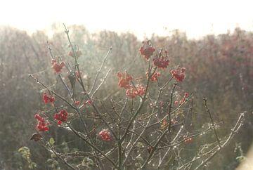 Bessen van de gelderse roos in het ochtendlicht van Jurjen Jan Snikkenburg
