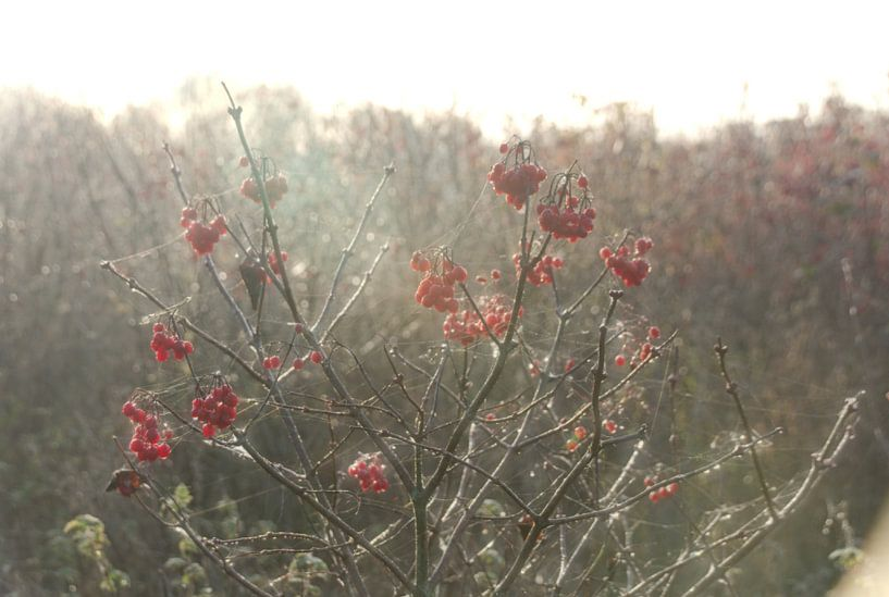 Beeren der Gelderland-Rose im Morgenlicht von Jurjen Jan Snikkenburg