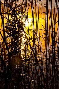 Rietkraag aan het IJsselmeer bij zonsopkomst