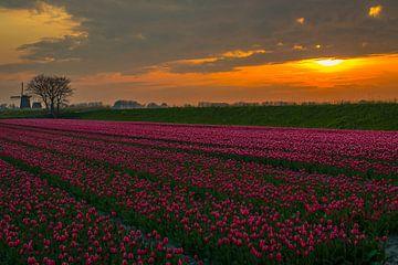 tulpenveld langs de dijk van Peter Heins