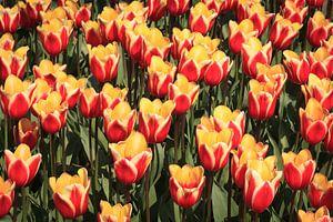 Viele rote und gelbe Tulpen
