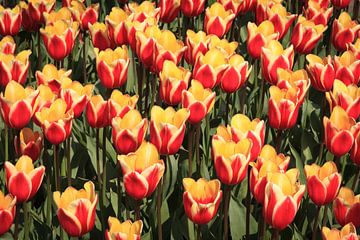 Beaucoup de tulipes rouges et jaunes sur