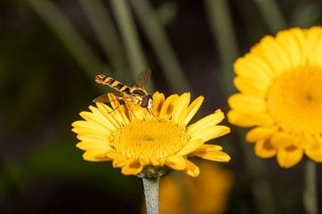 Schwebfliege auf einer gelben Blume von Hans-Jürgen Janda