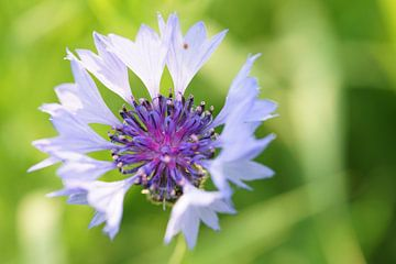 Nahaufnahme Makro Kornblume wilde Pflanze von Peter Ter Beek