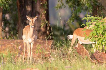 Antilope Impala sur Dennis Eckert
