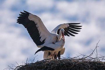 Ooievaarspaar in het nest van Tobias Luxberg