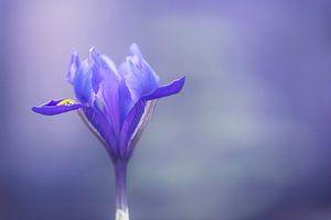Iris Harmony - (Reticulata 'Harmony')