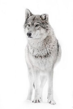 Wölfin kraftvoll von Michael Semenov