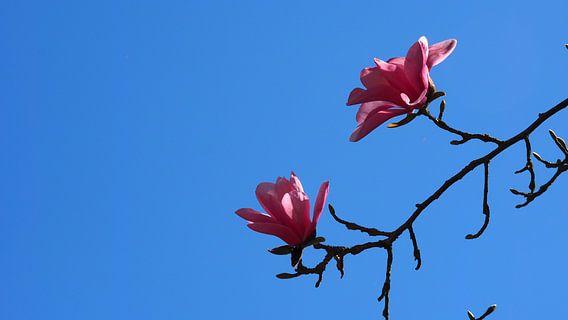 Magnolia (Tulpenboom)  van Tonny Swinkels
