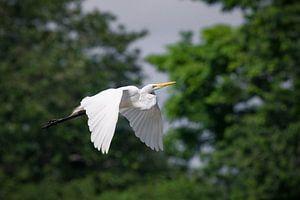 Grote Zilverreiger in vlucht - Cano Negro reservaat, Costa Rica