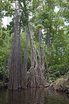 Luchtwortels op de Zwarte Rivier (Jamaica) van t.ART
