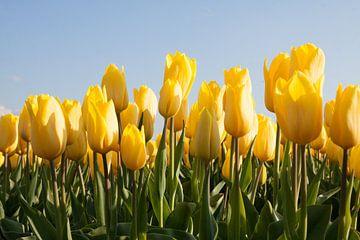 Zonnige gele tulpen van Monique Hassink