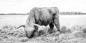 Schotse hooglander grazend van hoog gras