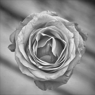 Schwarze und weiße Rose von Hannelore