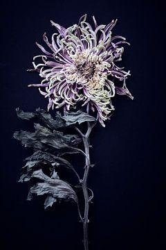 getrocknete Chrysantheme auf Schwarz von Karel Ham