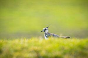 Weidevogel van