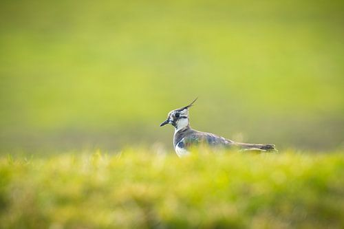 Weidevogel