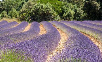 Lavendelveld von Helma de With