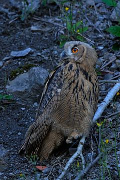 Nocturnal Eagle Owl ( Bubo bubo ) sits in an old quarry in last light, bright orange eyes, wildlife, van