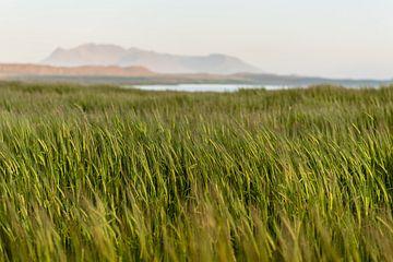 Des céréales ondulantes dans le paysage islandais sur Thijs van den Burg