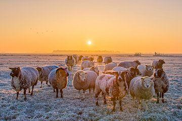 Schapen in de winter / Sheep in the winter van Wim Kanis