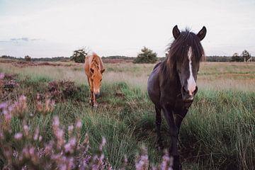 Wilde paarden tussen paarse heide