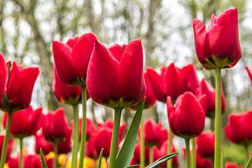 Rode Tulpen van Michel Groen