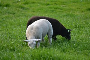 Twee Lammetjes van FotoGraaG Hanneke
