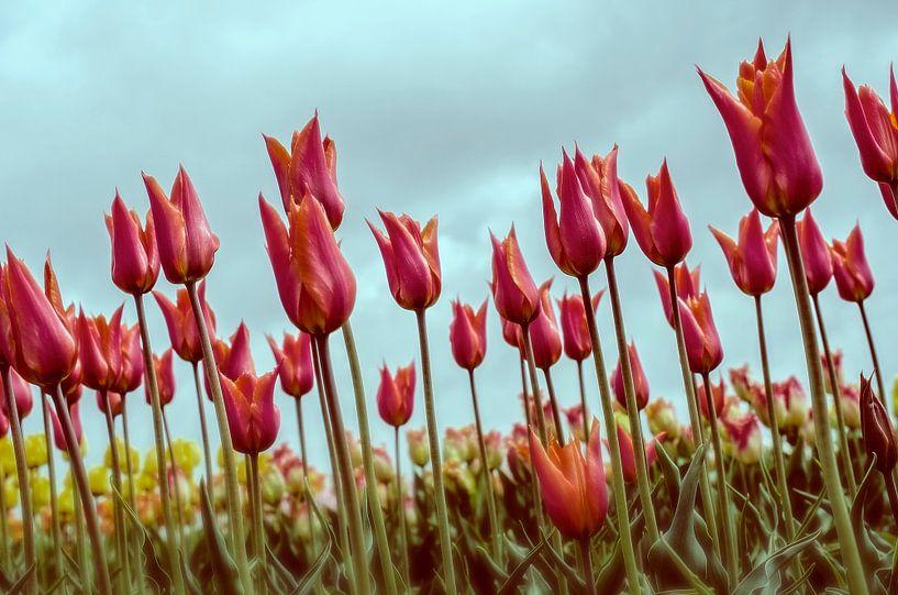 Tulpen in Holland van VanEis Fotografie