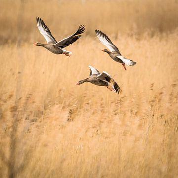 Drie vliegende ganzen van Tobias Luxberg