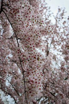 Prunus in Blüte von Robin Mulders