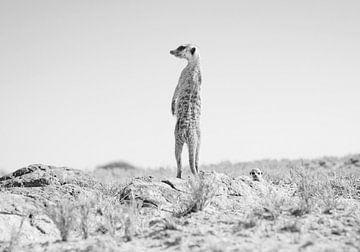 Erdmännchen in der Wüste in Botswana von Teun Janssen