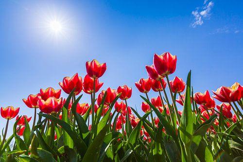 Hollandse rode tulpen van