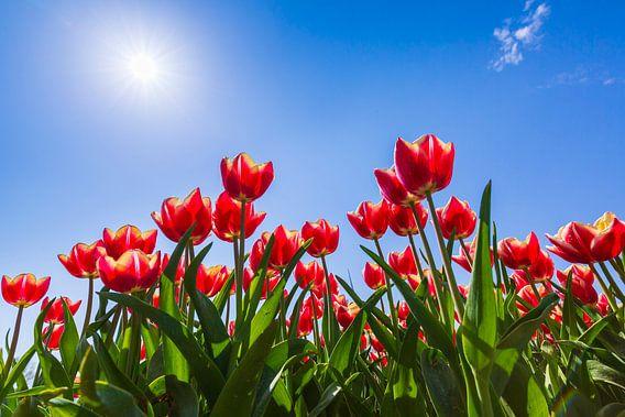 Hollandse rode tulpen van Sander Meertins