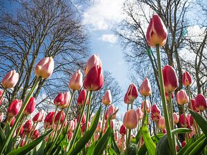 Tulpen aus einer anderen Perspektive